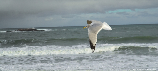 NATURE'S SUNDAY PREACHER ~ A well read Gull perhaps but far from preaching